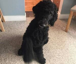 Poodle (Standard) Puppy for sale in EATON, CO, USA