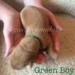 Labrador Retriever Puppy For Sale in YANKTON, SD