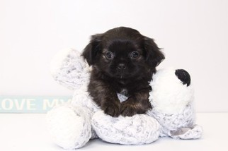Shinese Puppy for sale in NAPLES, FL, USA