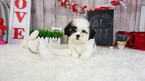 Mal-Shi Puppy For Sale in LAS VEGAS, NV, USA