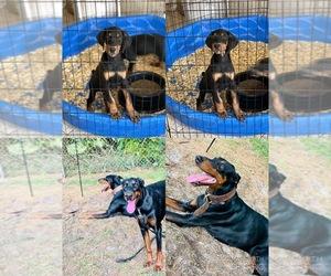 Doberman Pinscher Puppy for sale in SANFORD, FL, USA