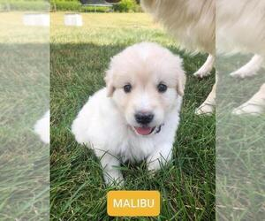 Golden Retriever-Samoyed Mix Puppy for sale in HUBERTUS, WI, USA