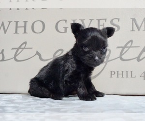 Poodle (Toy)-Yorkshire Terrier Mix Puppy for Sale in NAPPANEE, Indiana USA