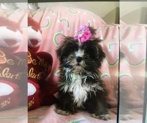 Shih Tzu Puppy for Sale in SARASOTA, Florida USA