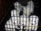Samoyed Puppy For Sale in JACKSONVILLE, NC