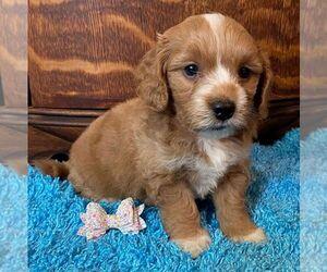 Goldendoodle-Poodle (Miniature) Mix Dog for Adoption in OTTAWA, Kansas USA