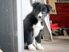 Border Collie Puppy For Sale in MOUNT JOY, PA, USA