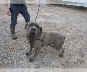 Cane Corso Puppy for sale in CHICAGO, IL, USA