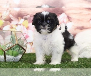 Cava-Tzu Puppy for sale in MARIETTA, GA, USA