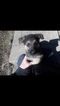 German Shepherd Dog Puppy For Sale in PITTSBURGH, PA, USA