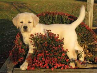 Labrador Retriever Puppy For Sale in MANILLA, IA