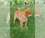 Small Shiba Inu