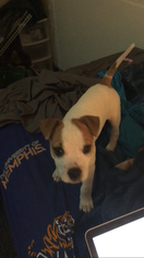 American Pit Bull Terrier Puppy For Sale in MEMPHIS, TN