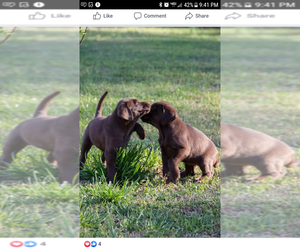 Labrador Retriever Puppy for Sale in WADESBORO, North Carolina USA