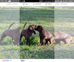 Labrador Retriever Puppy For Sale in WADESBORO, NC, USA