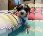 Small #6 Morkie