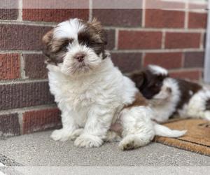 Shih Tzu Puppy for sale in DETROIT, MI, USA