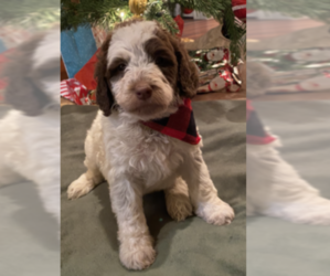 Labradoodle-Poodle (Standard) Mix Puppy for Sale in ROSEBURG, Oregon USA