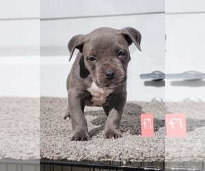 American Bully Puppy for sale in ARLINGTON, TX, USA