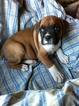Boxer Puppy For Sale in CORBIN, KY, USA