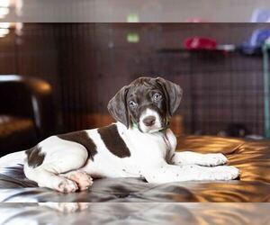 German Shorthaired Pointer Puppy for sale in MARANA, AZ, USA