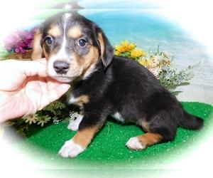 Dachshund Mix Puppy for Sale in HAMMOND, Indiana USA