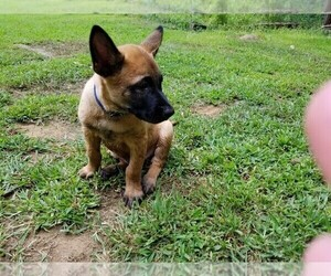Belgian Malinois Puppy for Sale in MARLBOROUGH, Connecticut USA