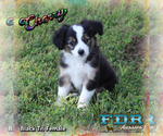 Cherry Toy Black Tri Female Aussie