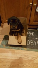 Rottweiler Puppy For Sale in EUBANK, KY, USA