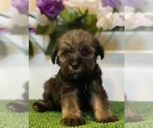 Schnauzer (Miniature) Puppy for sale in FORT PIERCE, FL, USA