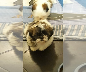 Shih Tzu Puppy for sale in MOORE, OK, USA