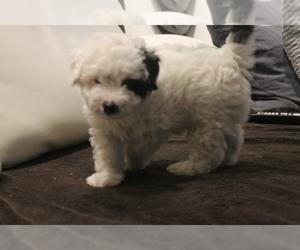 Medium Poodle (Miniature)-Yorkie-Poo Mix