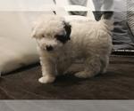 Puppy 0 Poodle (Miniature)-Yorkie-Poo Mix