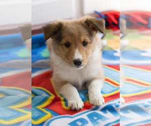 Shetland Sheepdog Puppy for sale in MILWAUKEE, WI, USA