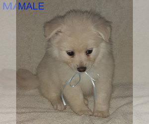 Pomeranian Puppy for sale in LAGRANGE, IN, USA