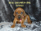 Redbone Coonhound Puppy For Sale in WALDRON, AR, USA