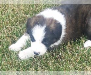 Border Collie Puppy for Sale in BRAYTON, Iowa USA