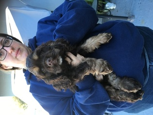 Cocker Spaniel Puppy For Sale in LAKELAND, FL