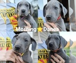 Blue Great Danes