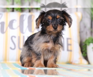 Dorkie Puppy for sale in MOUNT VERNON, OH, USA