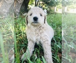 Small #5 Goldendoodle-Poodle (Miniature) Mix