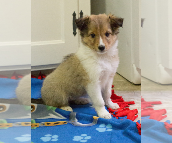 Medium Photo #8 Shetland Sheepdog Puppy For Sale in MILWAUKEE, WI, USA