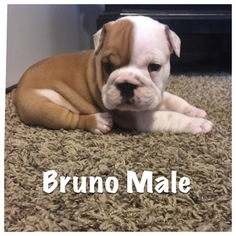 Bulldog Puppy For Sale in EDMOND, OK