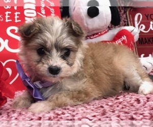 Pomsky-Poodle (Toy) Mix Puppy for sale in CLAY, PA, USA