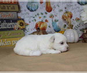 Maltese Puppy for Sale in CHANUTE, Kansas USA