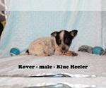Small #1 Australian Cattle Dog-Rat Terrier Mix