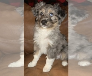 Miniature Australian Shepherd Puppy for Sale in MC LEAN, Illinois USA
