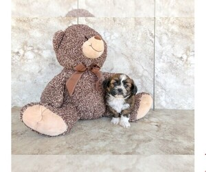 Peke-A-Poo Puppy for sale in CLEVELAND, NC, USA