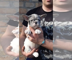 French Bulldog Puppy for sale in BLOOMINGDALE, IL, USA