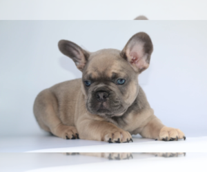French Bulldog Puppy for sale in BEVERLY HILLS, CA, USA